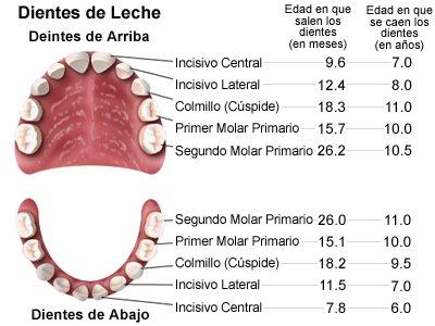 Los 4 tipos de dientes y su funci n for Suelo que se me caen los dientes