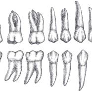 4 tipos de dientes y su funcin