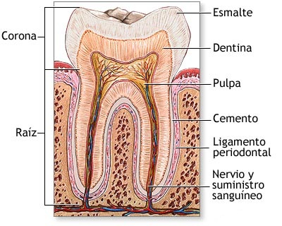 Blanqueamiento dental - esquema de un diente